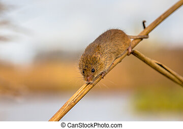 Harvesting mouse in reed - Harvesting mouse Micromys minutus...