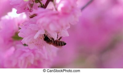 Blooming apricot tree in spring honey bees pollinating. Close up. Slow motion