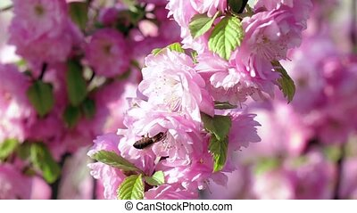 Honeybee is suckling nectar from apricot blossom. Close up....