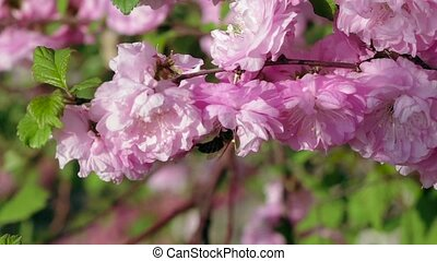Bee pollinating flowering apricot blossoms. Close up