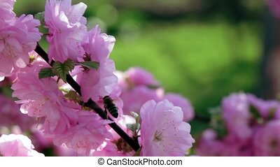 Bees collects nectar on a blossoming apricot branch. Close...