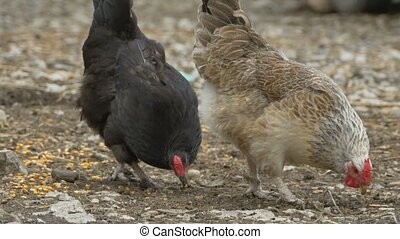 Chickens Peck at Grain - Two chickens are pecking the grain...