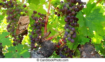 Red grapes Napa Valley - Wine red grapes Napa Valley...