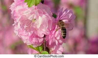 Honey bee collecting pollen from pink pear blossoming...