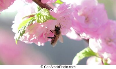 Collect pollen. Close up. Slow motion - Collect pollen,...