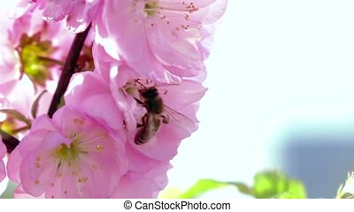 Bee collects nectar. Close up. Slow motion