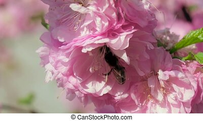 Blossoming tree Bees Close up Slow motion - Honey bee...