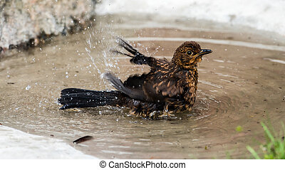 Birdbath - A juvenile Common Blackbird (Turdus merula) also...