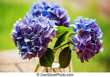 A closeup of some Mophead Hydrangeas Hydrangea macrophylla...