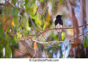 Black Phoebe (Sayornis nigricans) - The black phoebe is a...