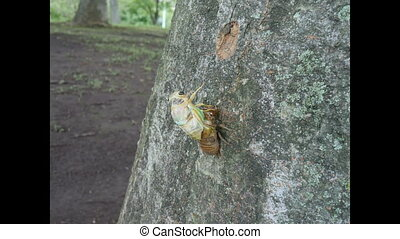 Adult emergence of cicada - Tokyo, Japan-July 23, 2016: 30...