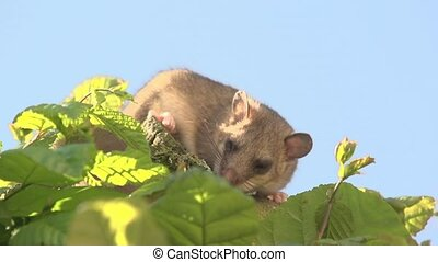 dormouse on a tree