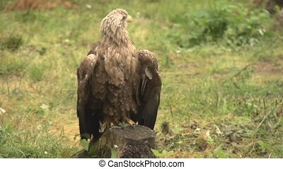 white tailed eagle on the ground