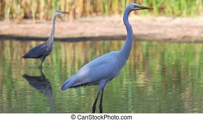 egret standing in water on a background of gray herons