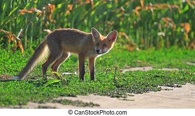 fox sniffs the wind,young animals, mammals, animals, morning...