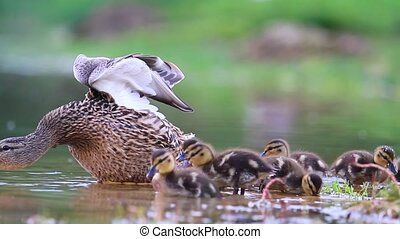 mother duck with ducklings,Mallard, the new generation of...