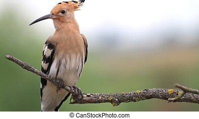 hoopoe sitting on a branch close-up,colorful feathers, rare...