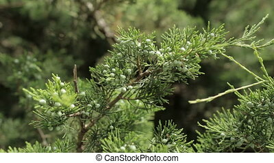 Conifer twigs with small cones playing in the wind