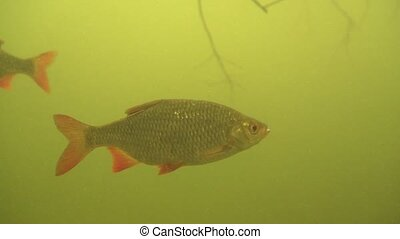 rudd - Scardinius erythrophthalmus - in a lake