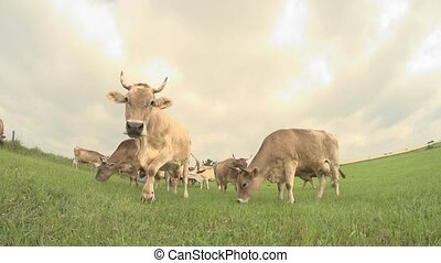 cows on a meadow - germany
