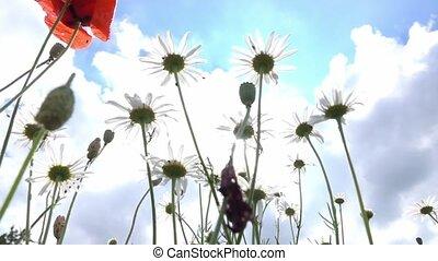 poppy field in germany