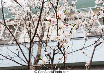 White cherry blossom or sakura in Hakodate town, Hokkaido,...