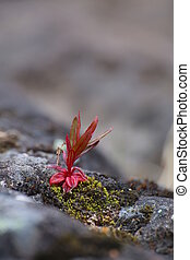 Single red plant growing on meager stone.