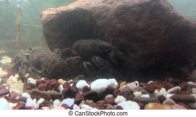 crayfish  - astacus astacus - under water