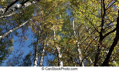 Autumn kroner of birches against the blue sky, turn of a...