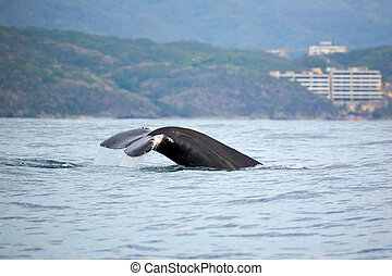 Whale watching in the Banderas Bay near Puerto Vallarta,...