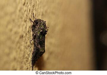 Orache, Moth, (Trachea, atriplicis), Sentado, en, el, pared