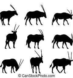 Oryx Gazela - Oryx gazela: long horned gazelle black...