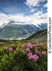 alpine rose in the chamonix vallee