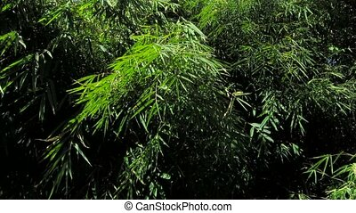 Bamboo leaves in gentle breeze