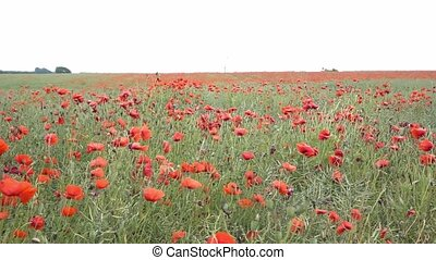poppy field in germany