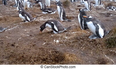 Colony of Gentoo penguins (Pygoscelis papua) at Volunteer...