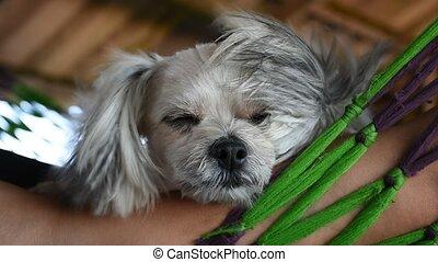 Dog so cute sleep - Dog so cute mixed breed with Shih-Tzu,...