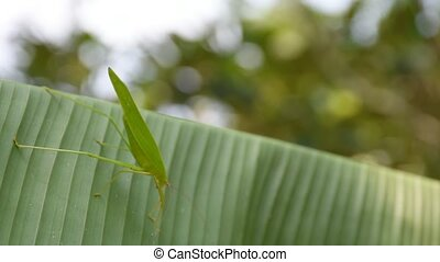 Grasshopper on banana leaf - Grasshopper on green banana...