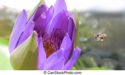 Purple lotus flower with bee - Beautiful purple lotus flower...