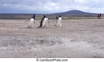 Gentoo penguins running on the beach at Volunteer Point,...