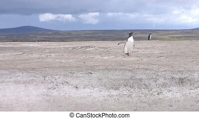Gentoo penguin running on the beach at Volunteer Point,...