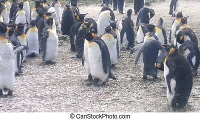 Colony of King Penguins at Volunteer Point, Falkland Islands