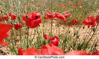 Red poppies in the meadow - Red poppies in a meadow