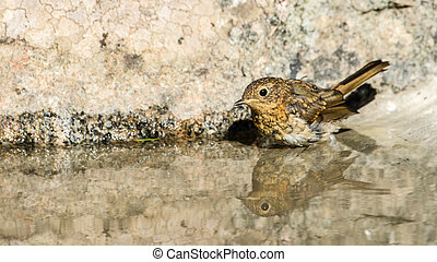 Glassy - The juvenile robin Erithacus rubecula is going to...