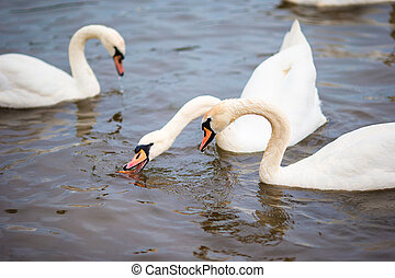 Beautiful swans in Prague river Vltava and Charles Bridge on...