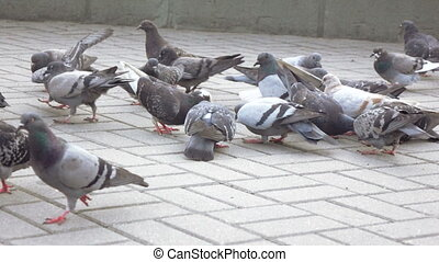 Pigeons eat bread in park - In the city park pigeons eating...