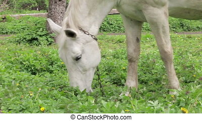 White Horse grazing on the meadow at summer sunny day. Horse...