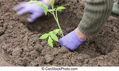 Woman planting pepper seedling - Woman with blue gloves...