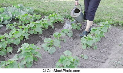 Watering plants with can - Watering cucumber and cabbage...