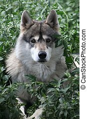 Wolf Eyes - Taken in Colorado, 2009 at a wildlife park...